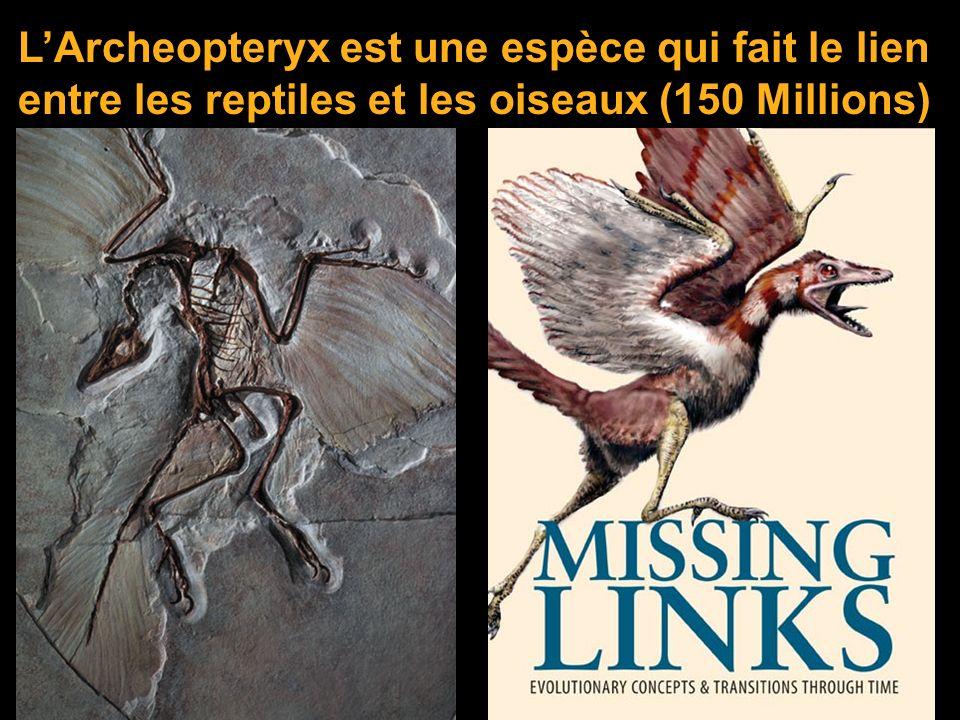 L'Archeopteryx est une espèce qui fait le lien