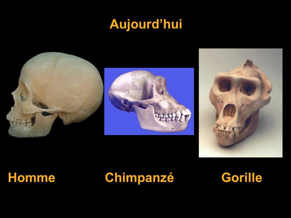 Aujourd'hui Homme Chimpanzé Gorille