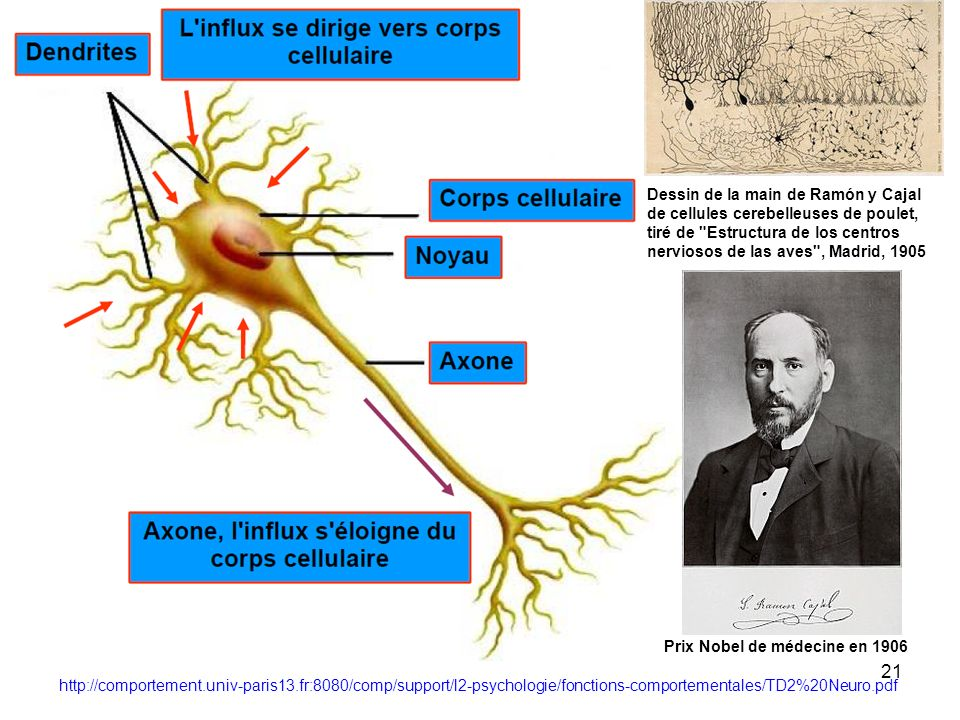 Dessin de la main de Ramón y Cajal de cellules cerebelleuses de poulet, tiré de Estructura de los centros nerviosos de las aves , Madrid, 1905