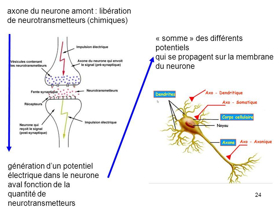 axone du neurone amont : libération de neurotransmetteurs (chimiques)