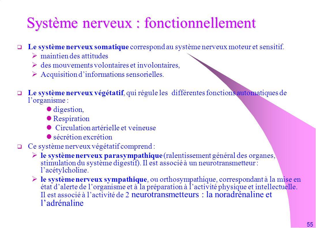 Système nerveux : fonctionnellement