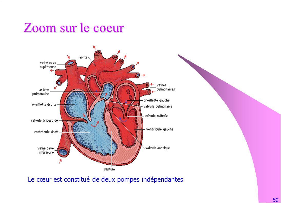 Zoom sur le coeur Le cœur est constitué de deux pompes indépendantes
