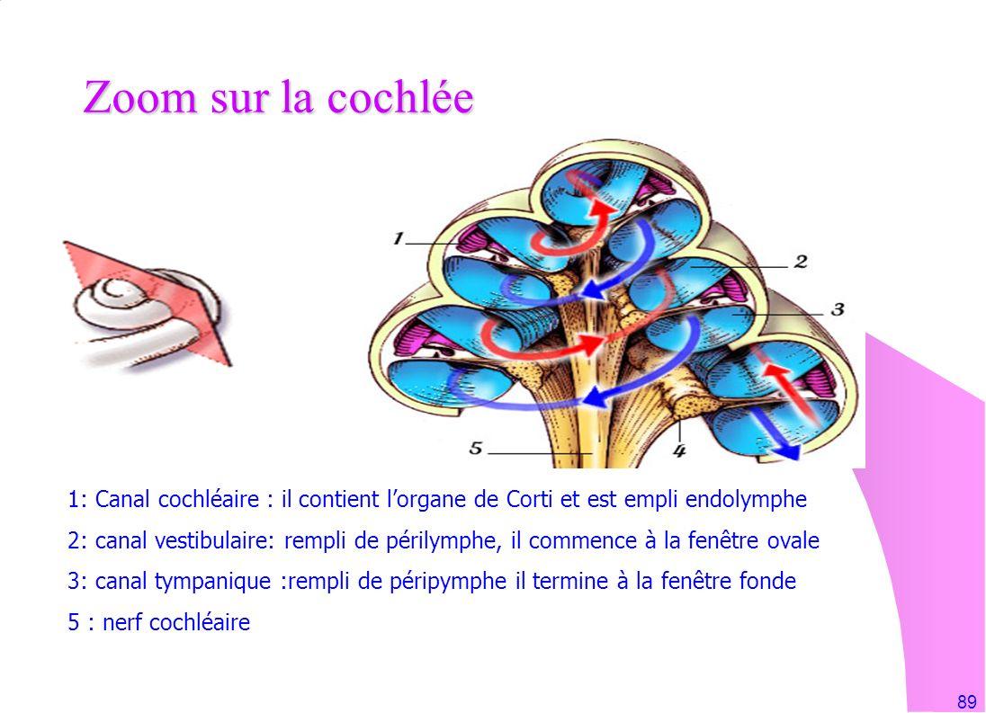 Zoom sur la cochlée 1: Canal cochléaire : il contient l'organe de Corti et est empli endolymphe.