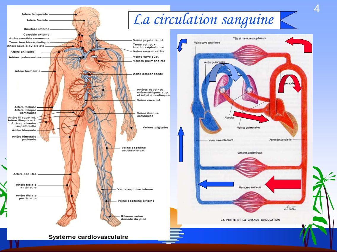 La circulation sanguine