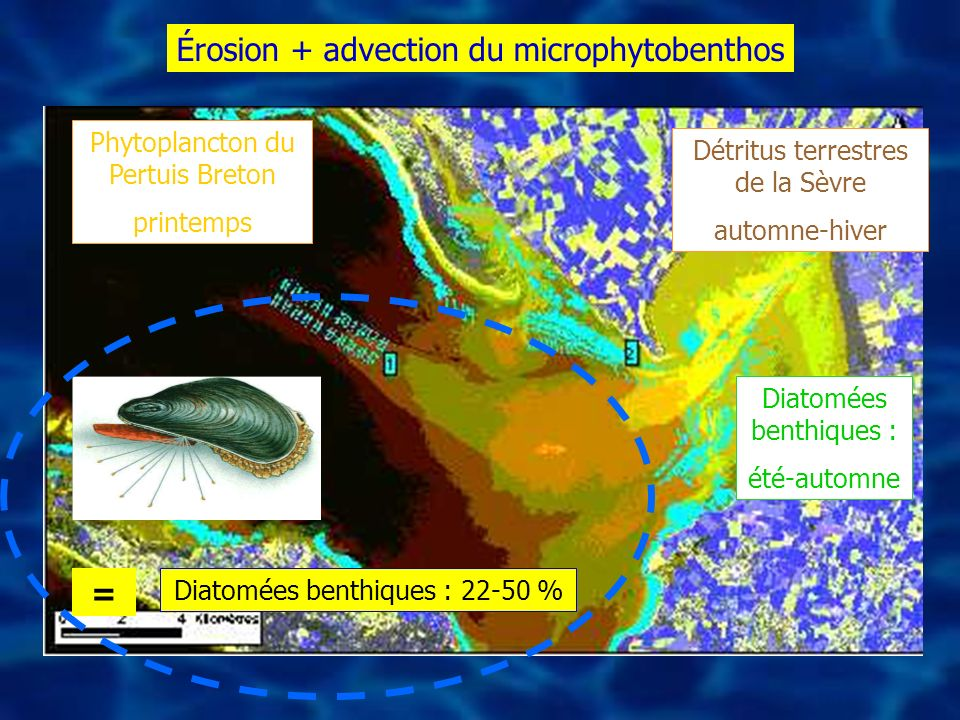 Érosion + advection du microphytobenthos
