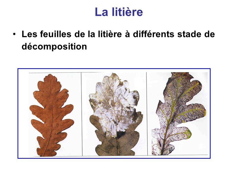 La litière Les feuilles de la litière à différents stade de décomposition