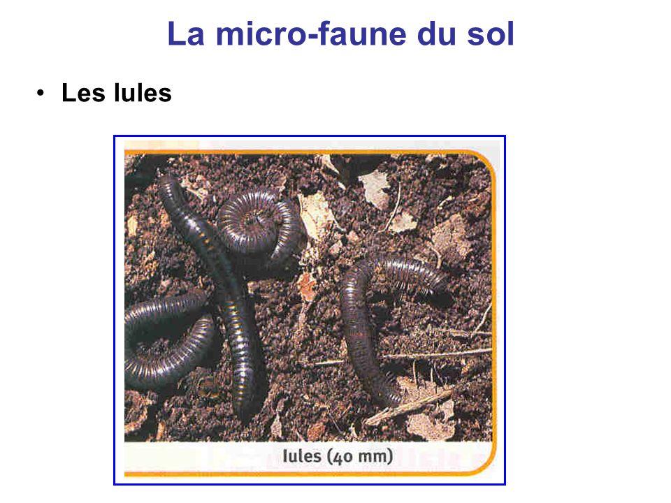 La micro-faune du sol Les lules