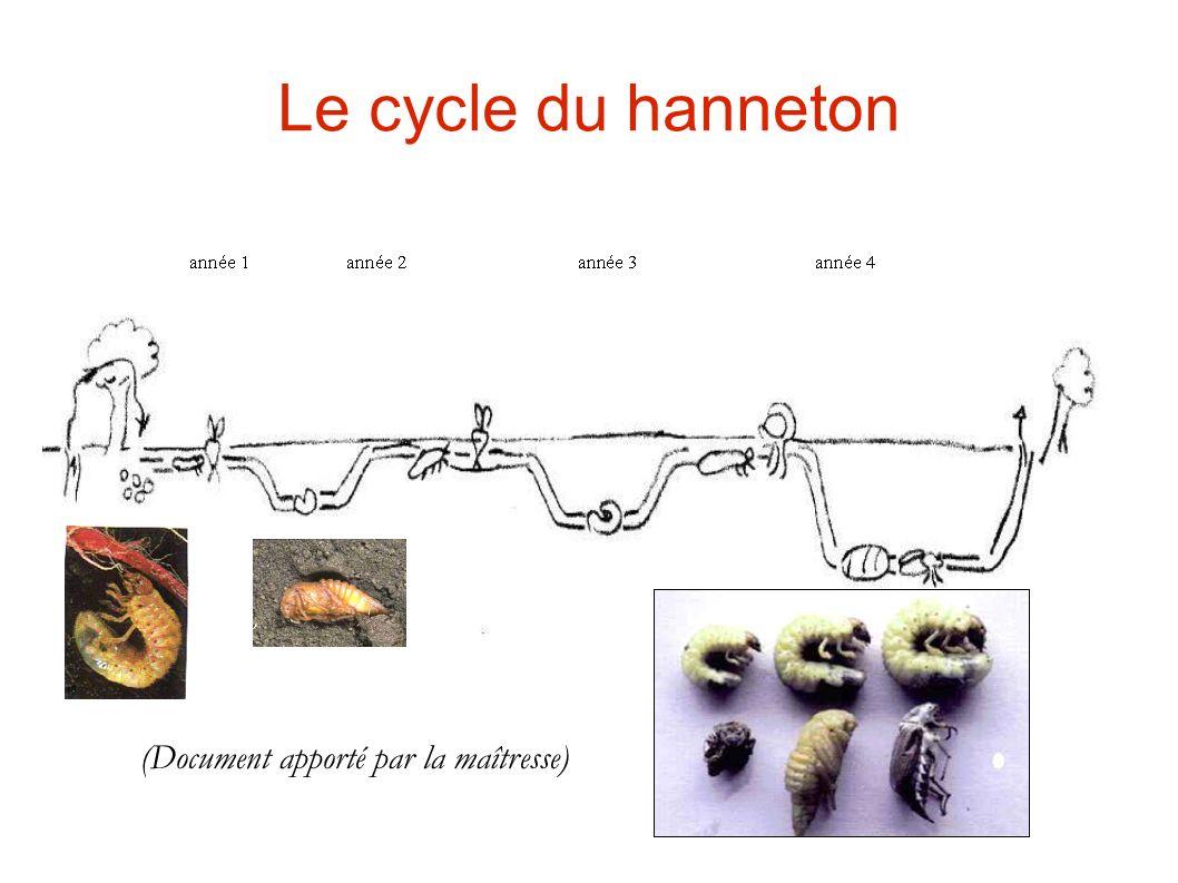 Le cycle du hanneton (Document apporté par la maîtresse)