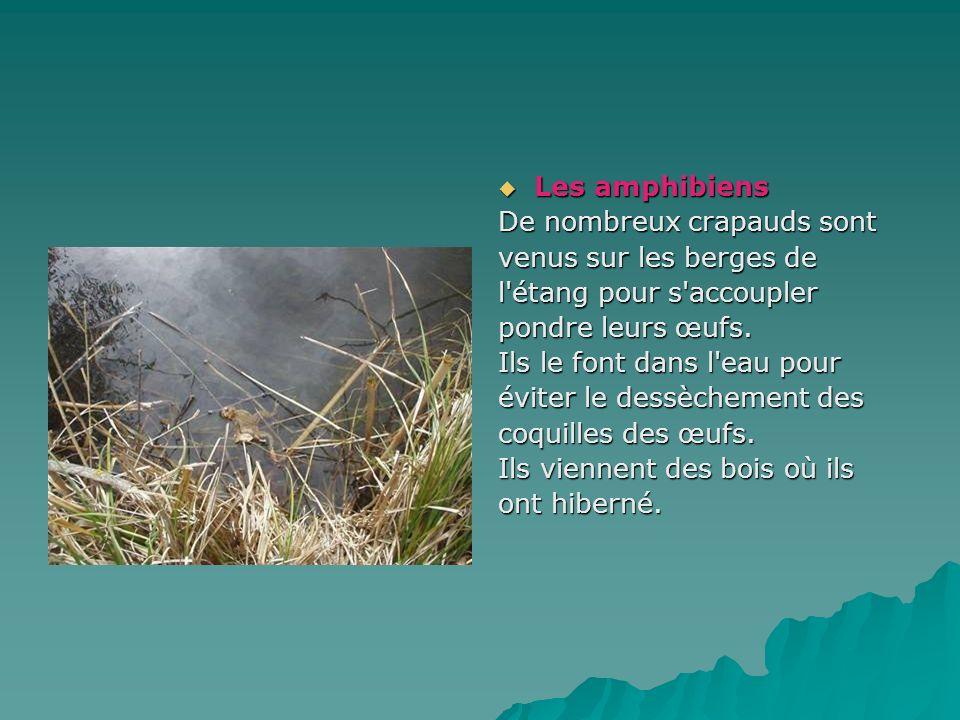 Les amphibiensDe nombreux crapauds sont. venus sur les berges de. l étang pour s accoupler. pondre leurs œufs.