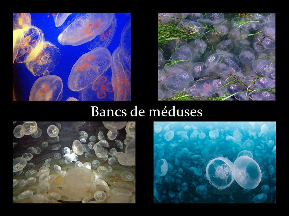 Bancs de méduses