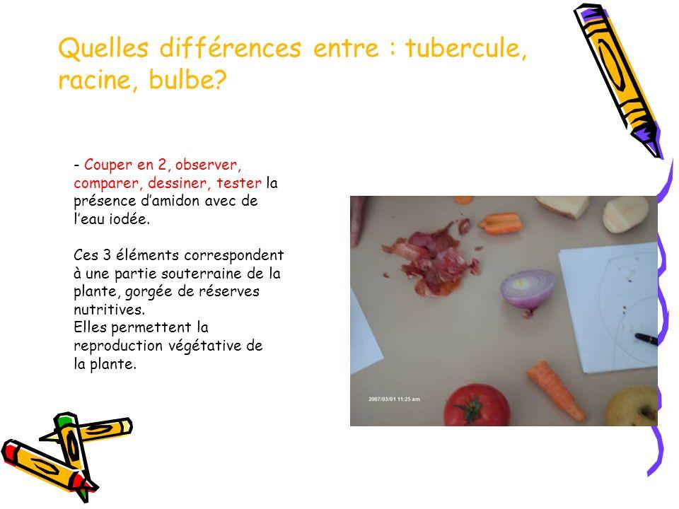 Quelles différences entre : tubercule, racine, bulbe