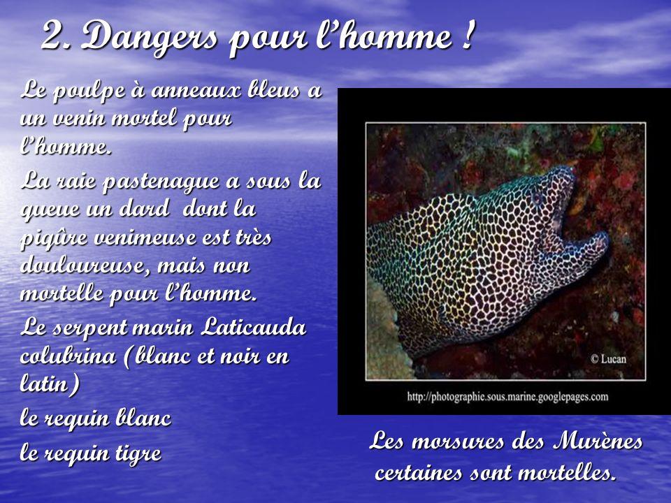 2. Dangers pour l'homme ! Le poulpe à anneaux bleus a un venin mortel pour l'homme.