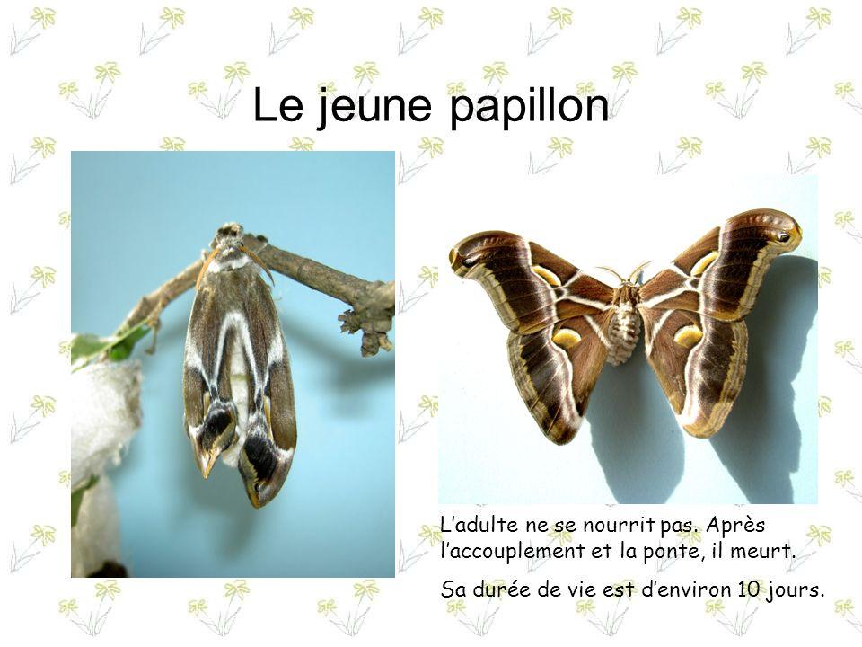 Le jeune papillon L'adulte ne se nourrit pas. Après l'accouplement et la ponte, il meurt.