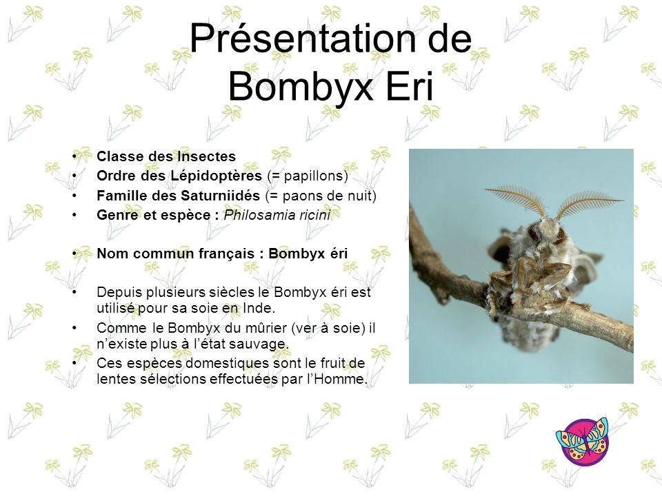 Présentation de Bombyx Eri