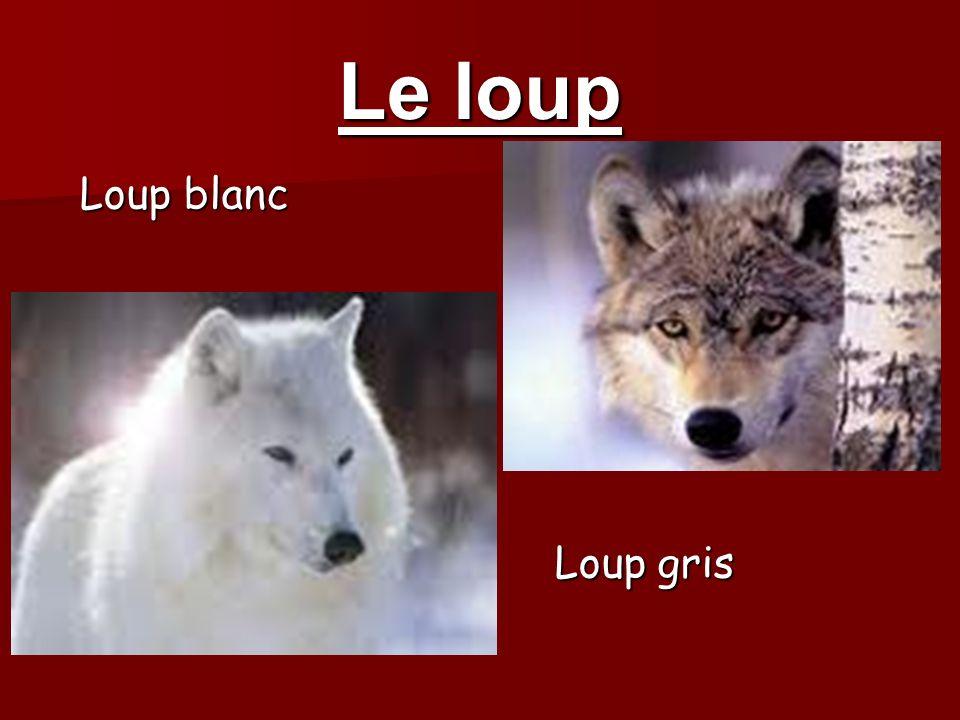 Le loup Loup blanc Loup gris