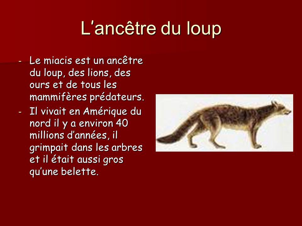 L'ancêtre du loup Le miacis est un ancêtre du loup, des lions, des ours et de tous les mammifères prédateurs.