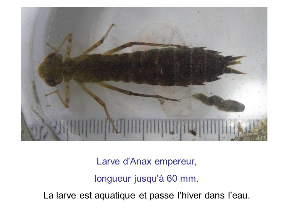 La larve est aquatique et passe l'hiver dans l'eau.
