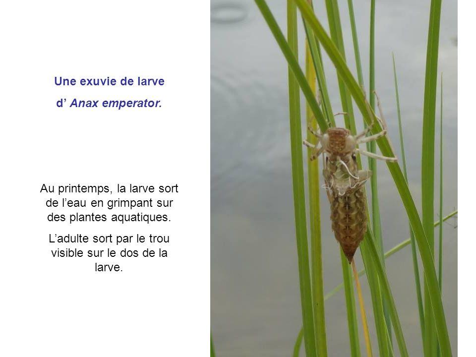 L'adulte sort par le trou visible sur le dos de la larve.