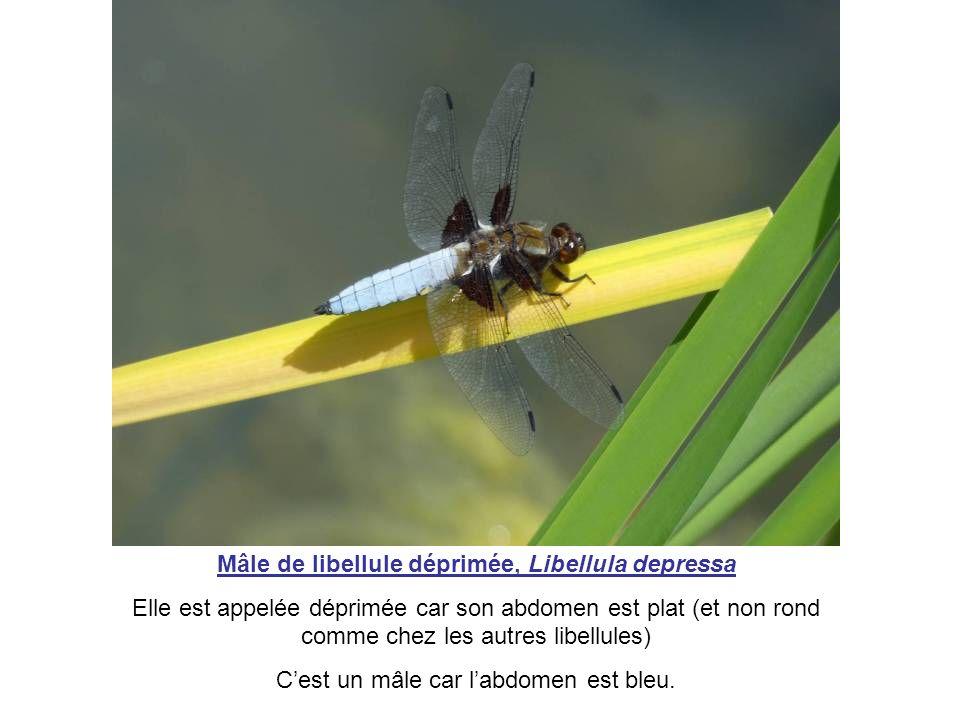 Mâle de libellule déprimée, Libellula depressa
