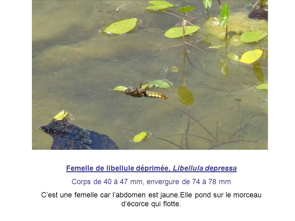 Femelle de libellule déprimée, Libellula depressa