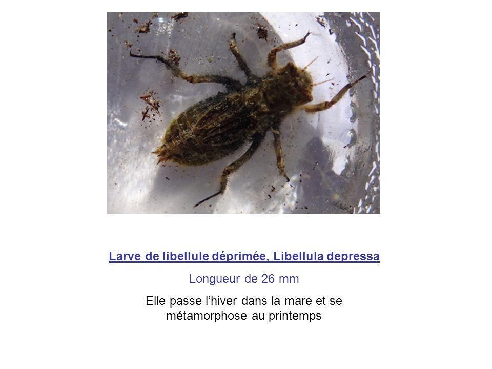 Larve de libellule déprimée, Libellula depressa