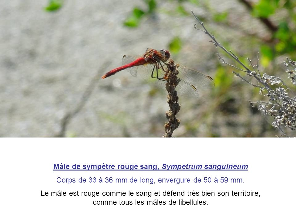 Mâle de sympètre rouge sang, Sympetrum sanguineum