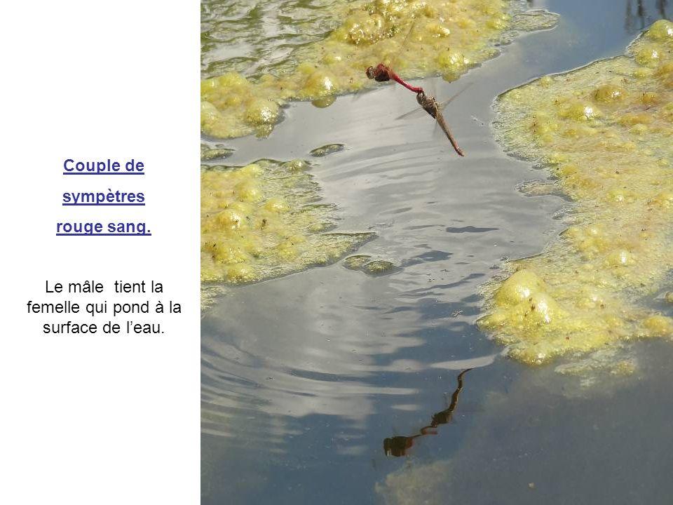 Le mâle tient la femelle qui pond à la surface de l'eau.