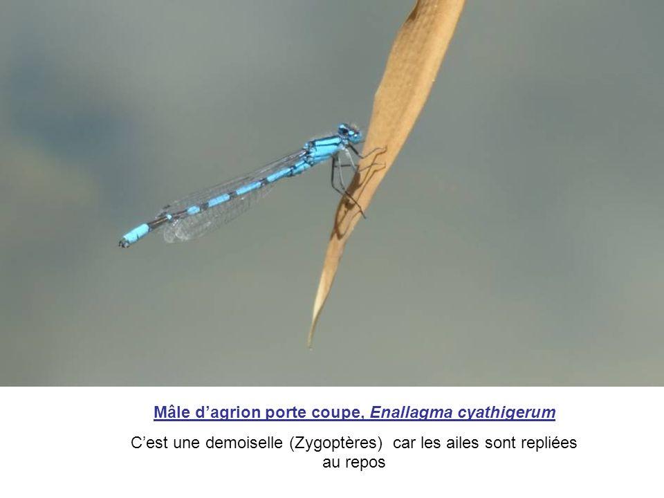Mâle d'agrion porte coupe, Enallagma cyathigerum