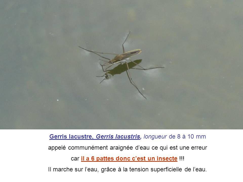 Gerris lacustre, Gerris lacustris, longueur de 8 à 10 mm