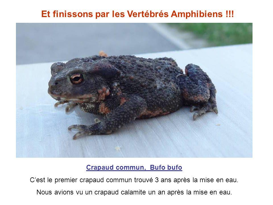 Et finissons par les Vertébrés Amphibiens !!!
