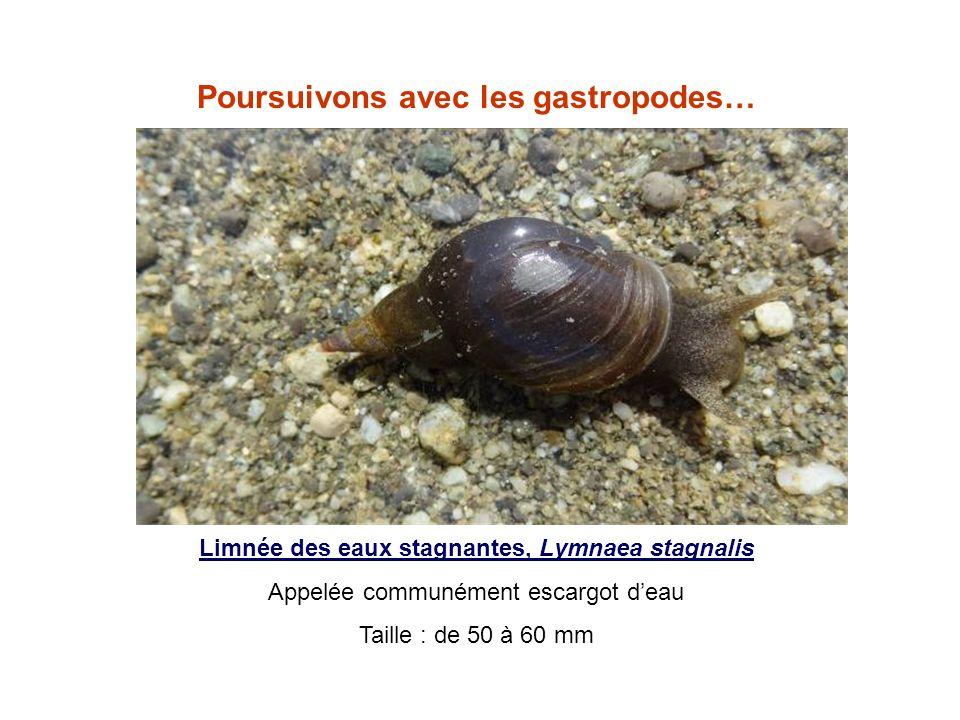 Poursuivons avec les gastropodes…