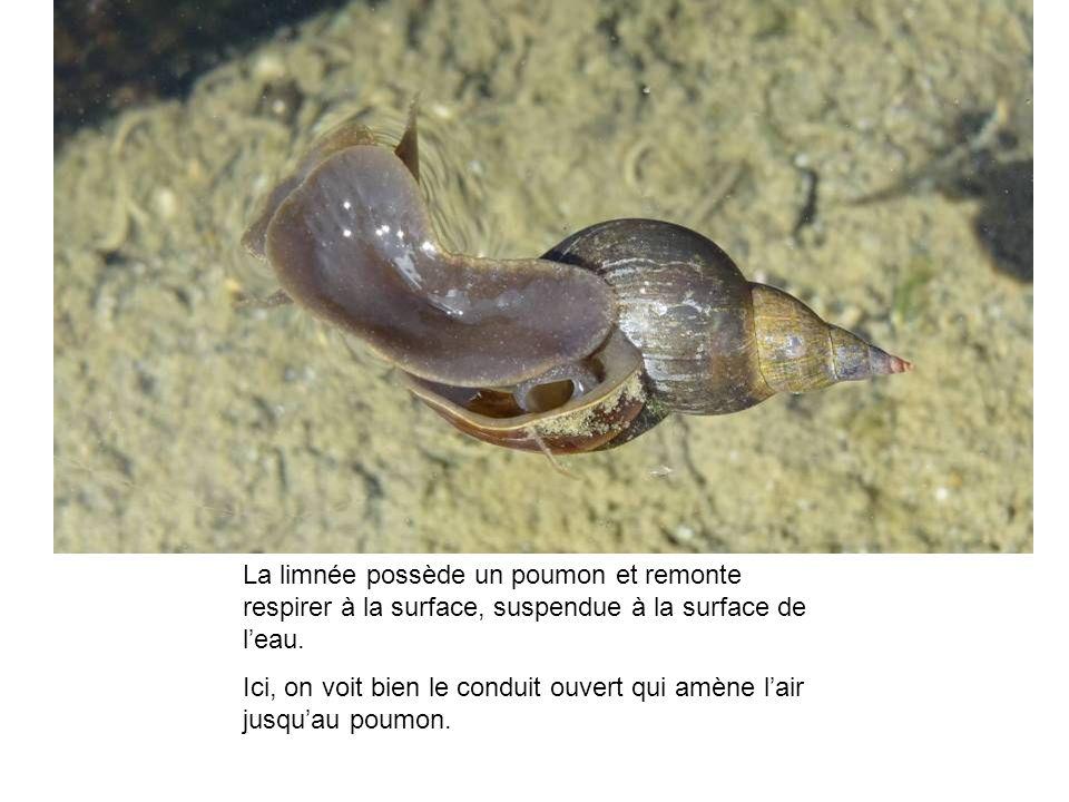 La limnée possède un poumon et remonte respirer à la surface, suspendue à la surface de l'eau.