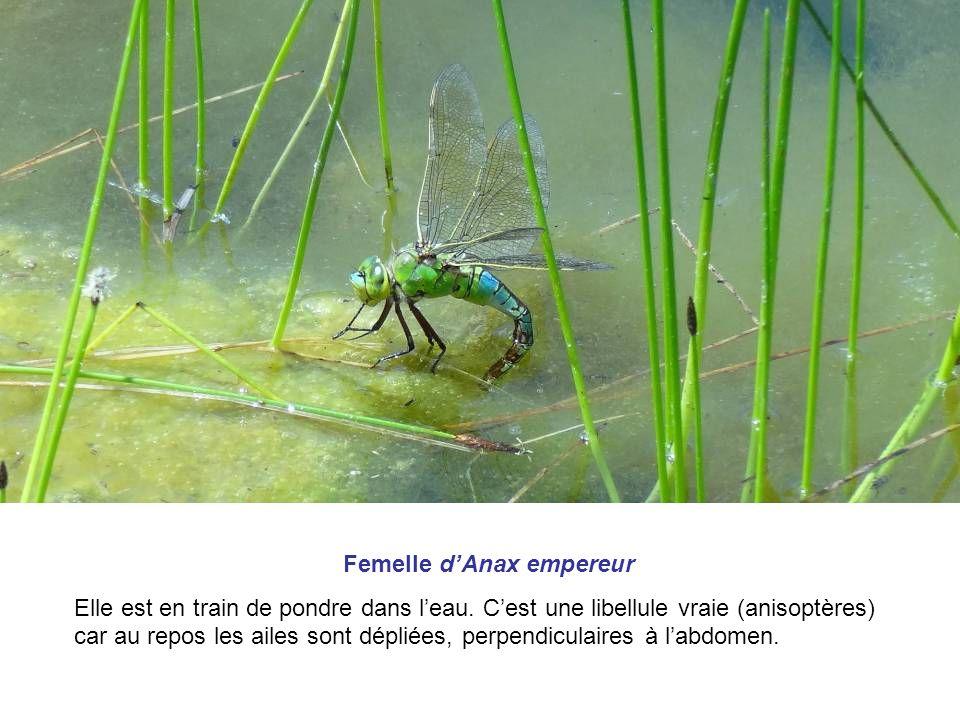Femelle d'Anax empereur