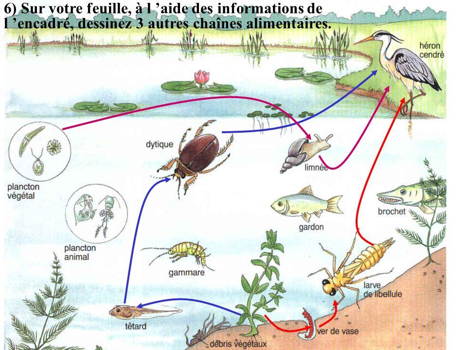 6) Sur votre feuille, à l 'aide des informations de l 'encadré, dessinez 3 autres chaînes alimentaires.