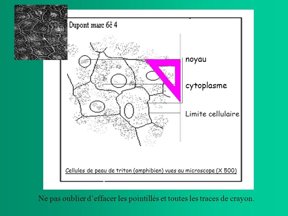 noyau cytoplasme. Limite cellulaire. Cellules de peau de triton (amphibien) vues au microscope (X 500)