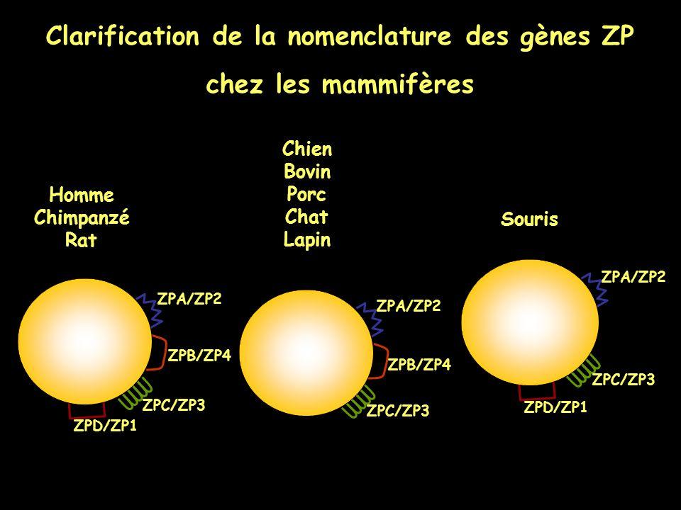 Clarification de la nomenclature des gènes ZP