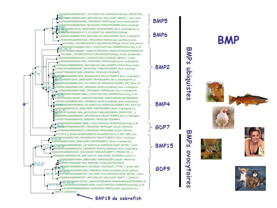 BMP BMPs ubiquistes BMPs ovocytaires BMP5 BMP6 BMP2 BMP4 GDF7 BMP15