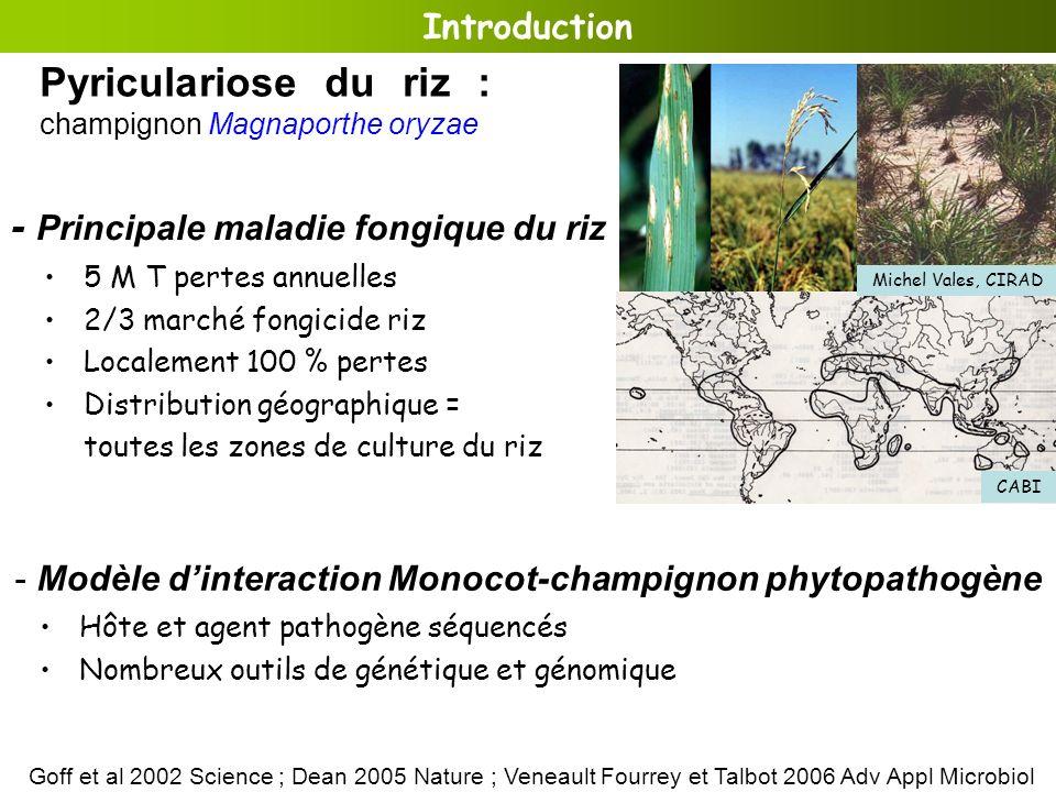 Pyriculariose du riz : champignon Magnaporthe oryzae
