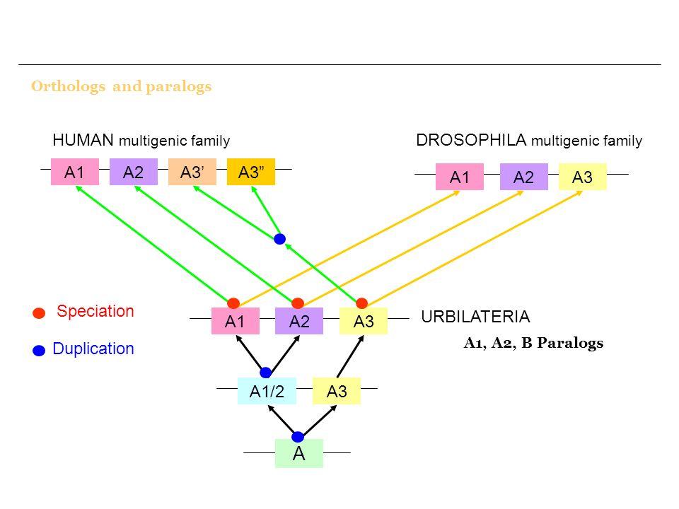 A HUMAN multigenic family DROSOPHILA multigenic family A2 A3' A3 A1