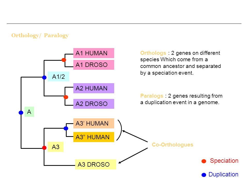 A1 HUMAN A1 DROSO A1/2 A2 HUMAN A2 DROSO A A3' HUMAN A3 HUMAN A3