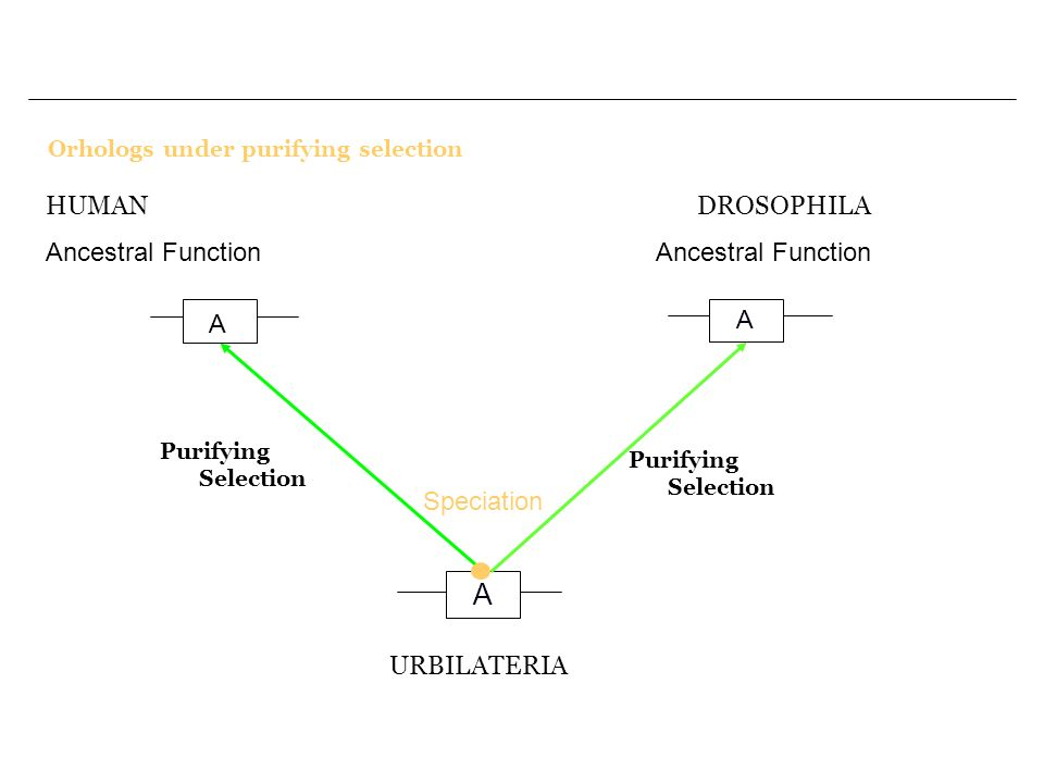 A HUMAN Ancestral Function DROSOPHILA Ancestral Function A A