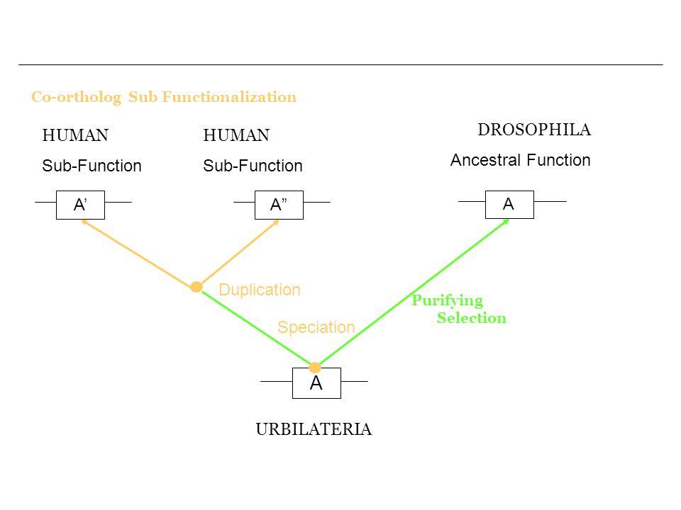 A DROSOPHILA Ancestral Function HUMAN Sub-Function HUMAN Sub-Function