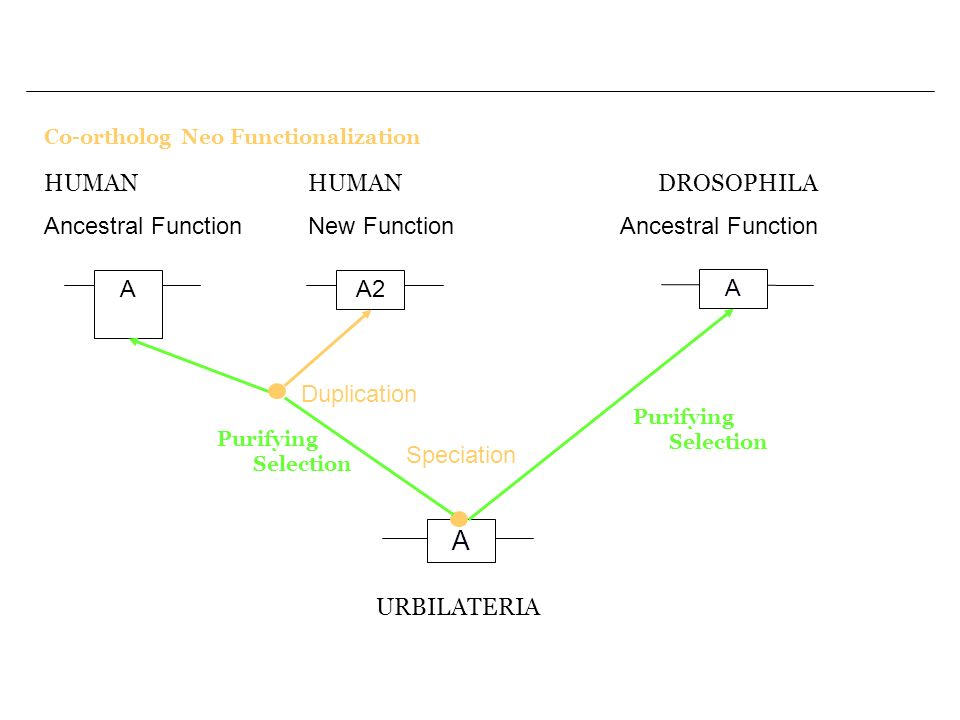 A HUMAN Ancestral Function HUMAN New Function DROSOPHILA