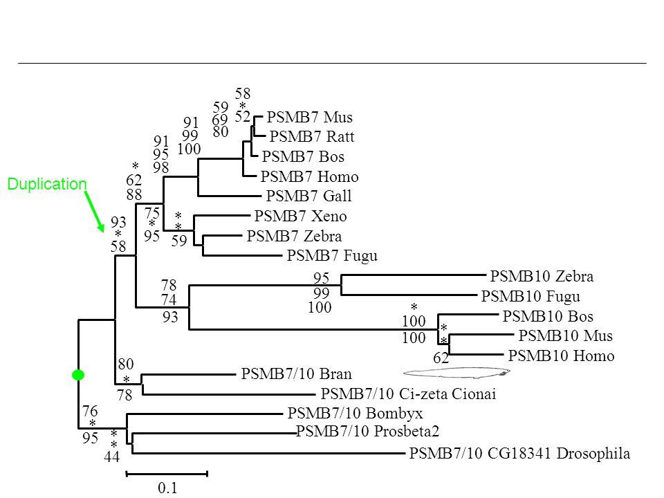 PSMB7 MusPSMB7 Ratt. PSMB7 Bos. PSMB7 Homo. PSMB7 Gall. PSMB7 Xeno. PSMB7 Zebra. PSMB7 Fugu. PSMB10 Zebra.
