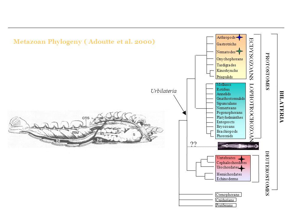 Metazoan Phylogeny ( Adoutte et al. 2000) ECDYSOZOANS