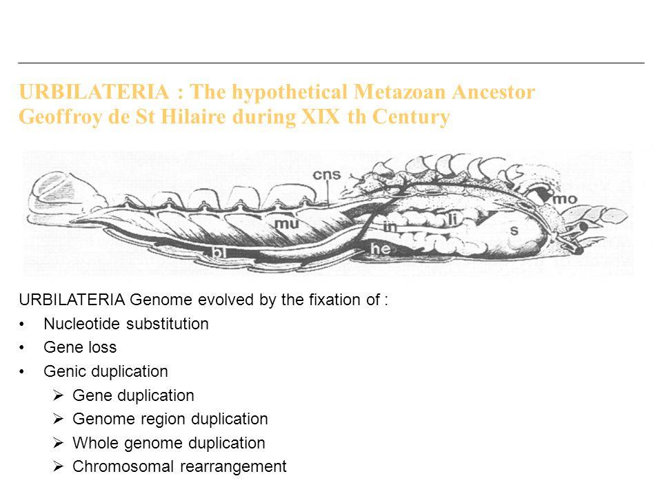 URBILATERIA : The hypothetical Metazoan Ancestor