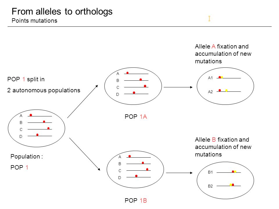 From alleles to orthologs