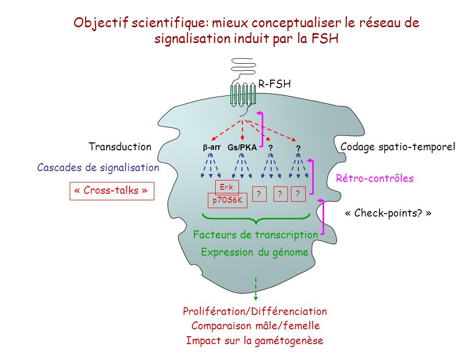 Objectif scientifique: mieux conceptualiser le réseau de signalisation induit par la FSH