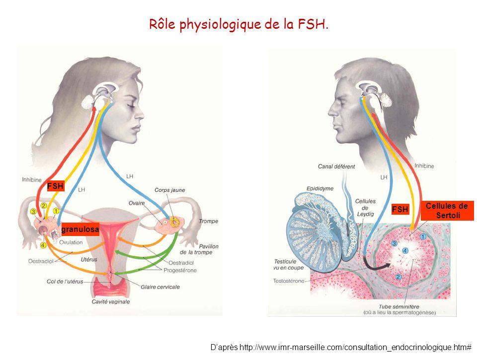 Rôle physiologique de la FSH.