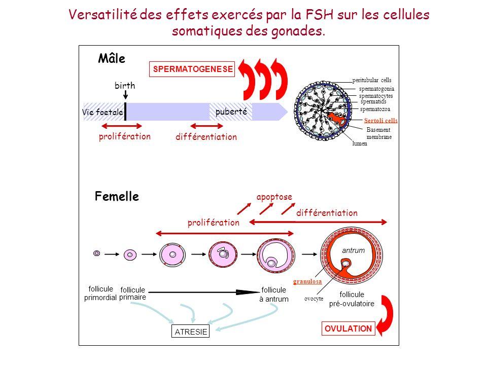 Versatilité des effets exercés par la FSH sur les cellules somatiques des gonades.